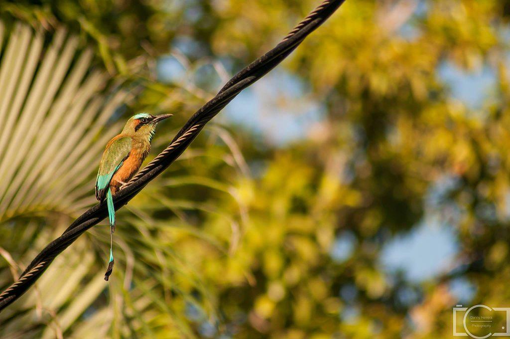 guardabarranco nicaragua bird